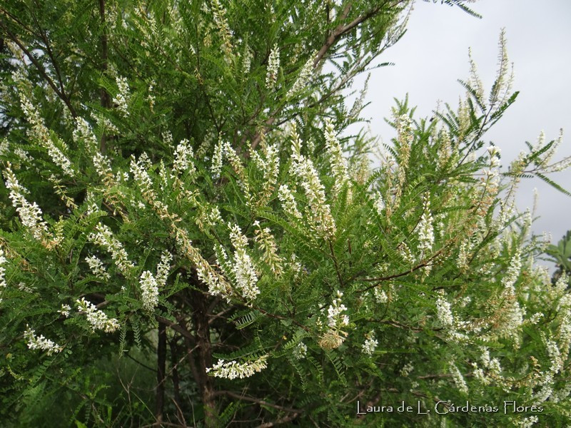palo dulce (Eysenhardtia polystachya)