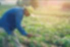 Plantio-mandioca