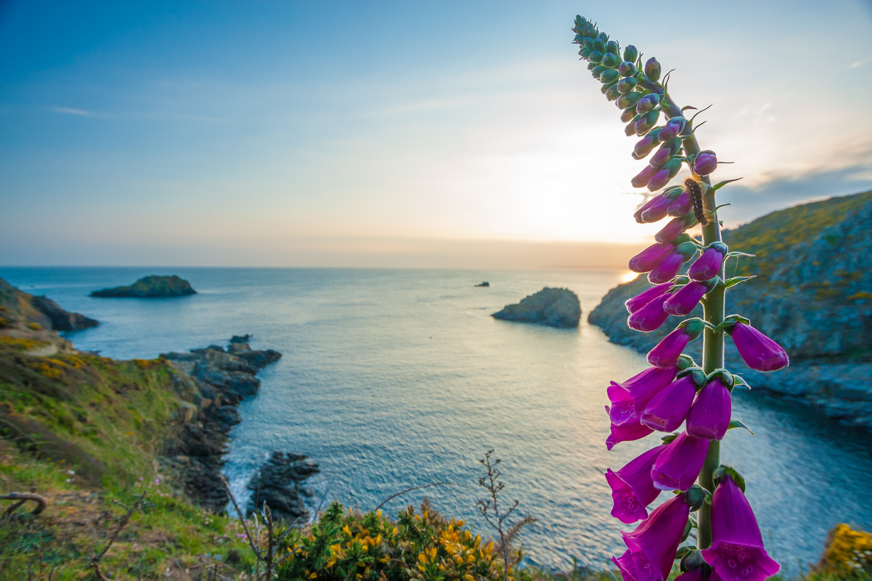 Fox glove at Port Gorey