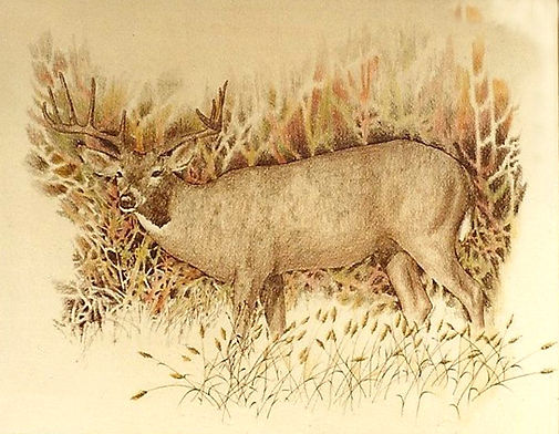 Mule Deer   14 X 10 pencil on paper