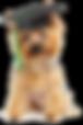 adestramento de cães yorkshire