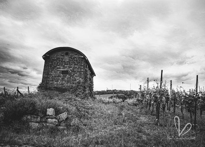 Plantation de vignes. Près de Molsheim