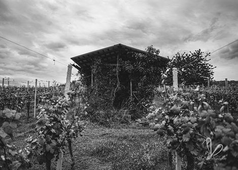 Vignoble prés de Molsheim. Photo monochrome.