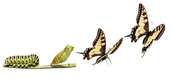 Fra puppe til fri sommerfugl