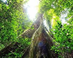 buttress-Roots.jpg