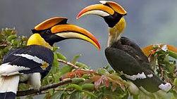 Great-Hornbill.jpeg