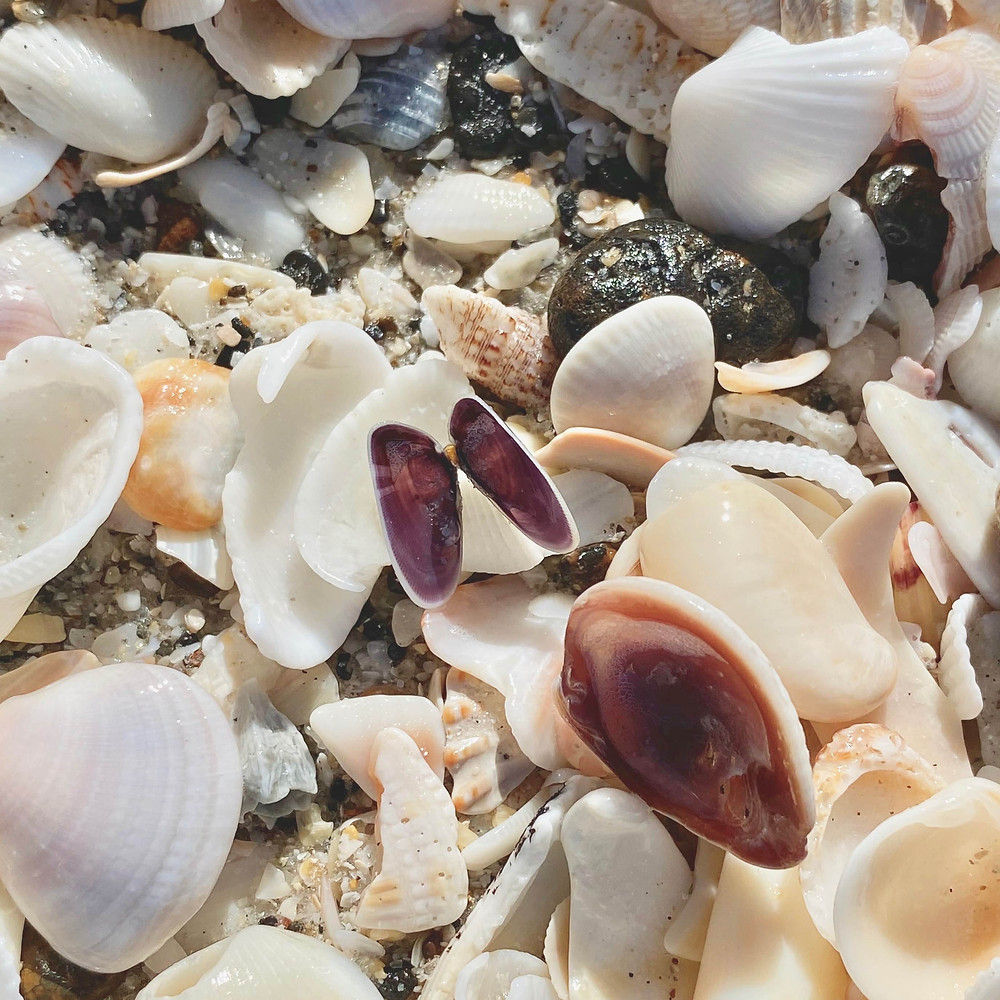 Coquina shell amongst other shells at the beach.