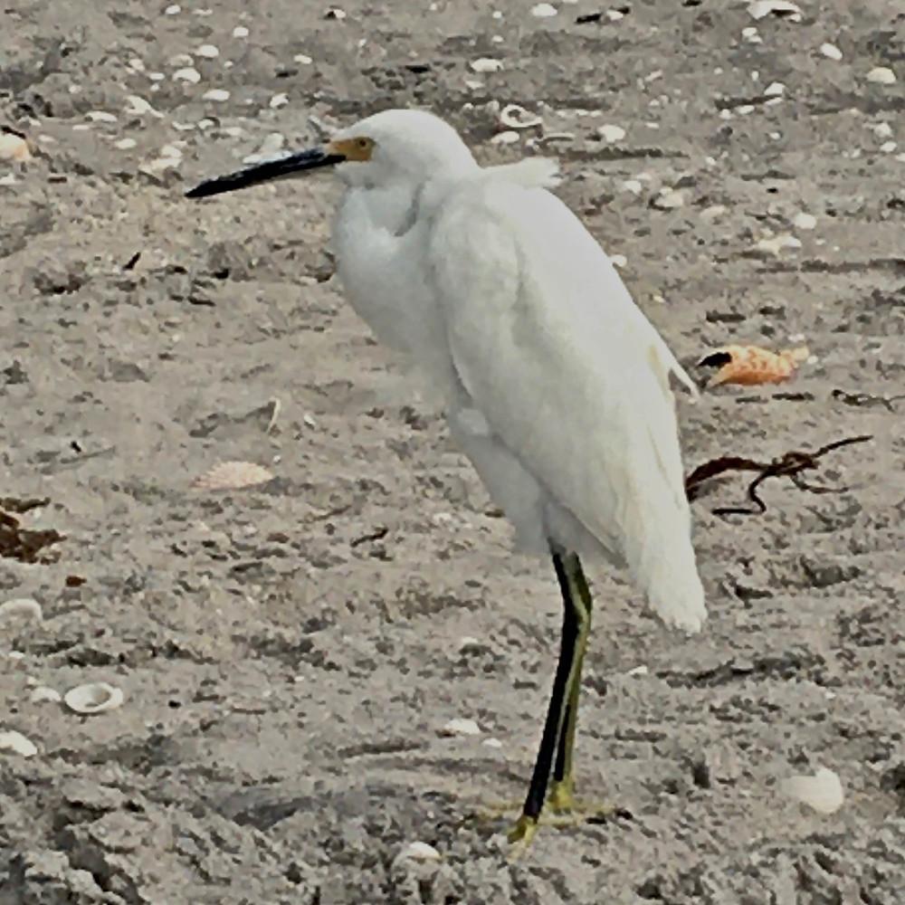 White egret at the beach.