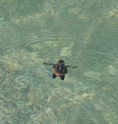 Baby-sea-turtle-swimming-in-Gulf