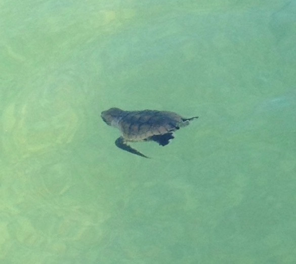 Sea turtle hatchling swimming in the Gulf of Mexico.
