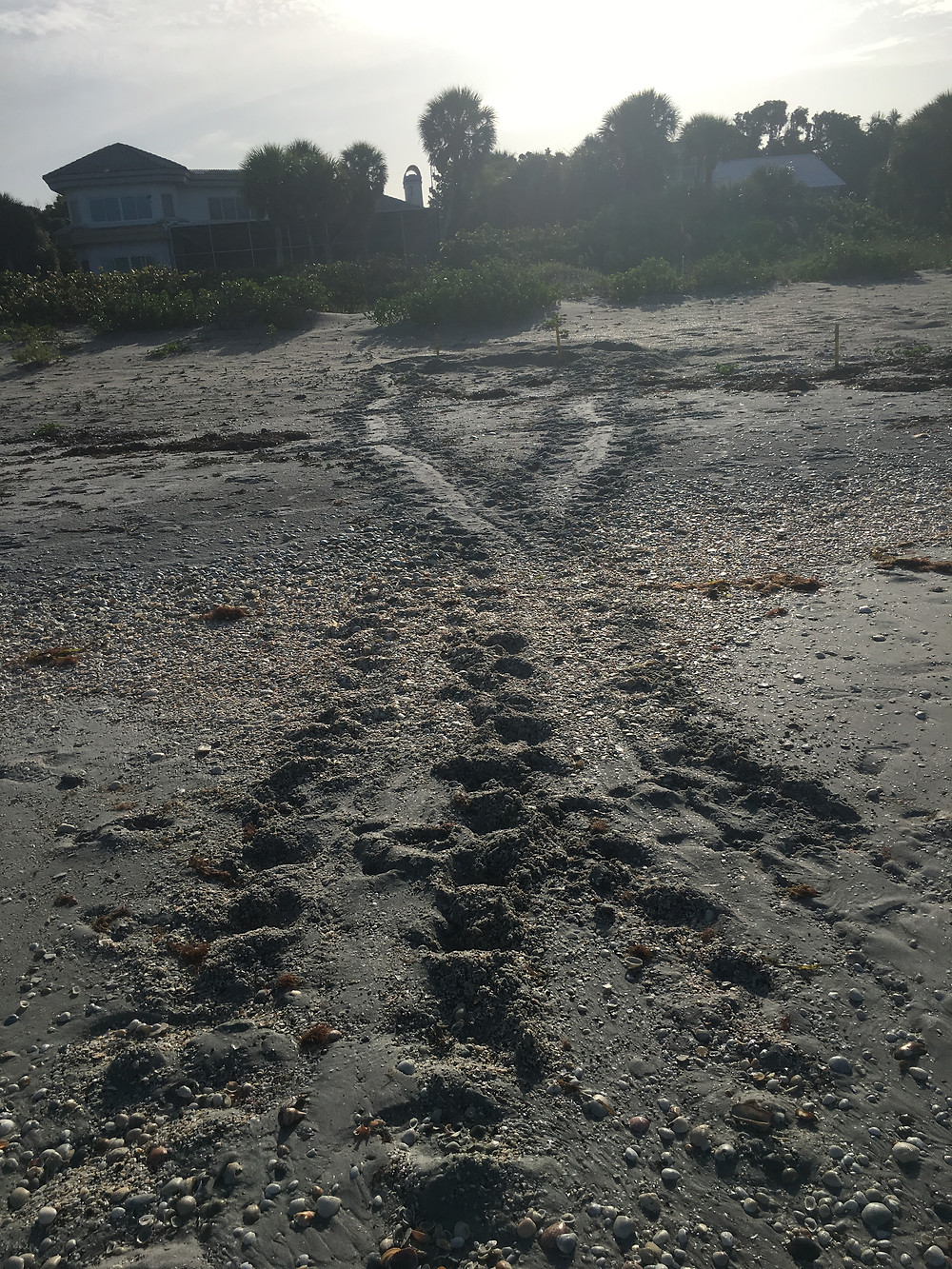 Tracks from a nesting sea turtle on the beach.
