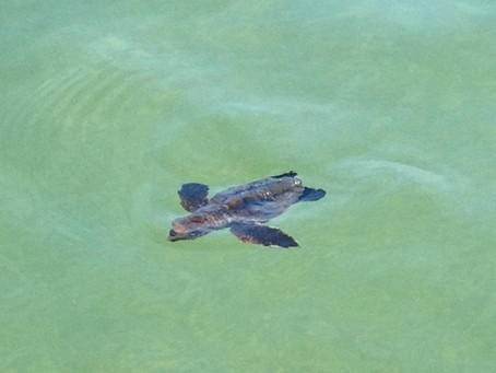 Sea Turtle Baby Boom in Florida?