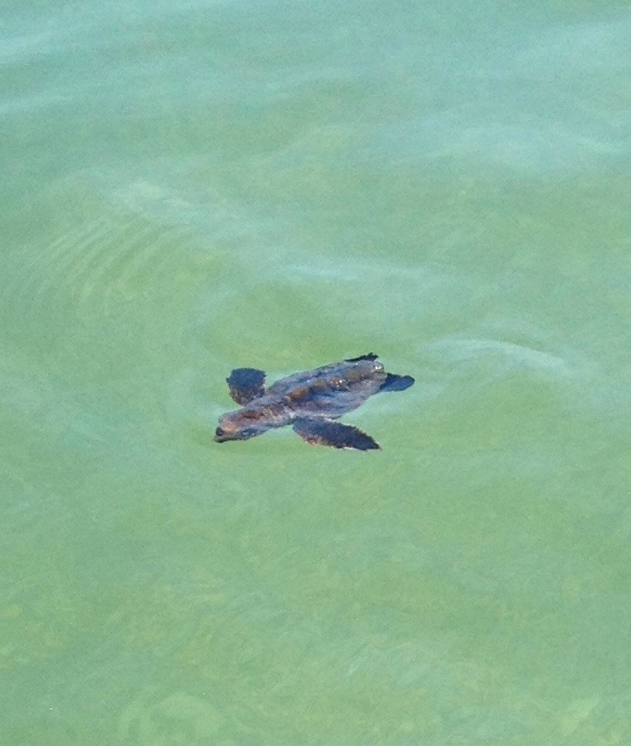 Baby sea turtle swimming in the Gulf of Mexico