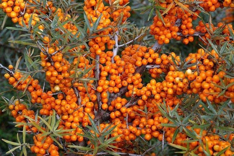 Seabuckthorn-magical mongolian berries