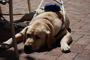 guide dog lying.jpg