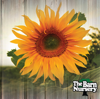 SunflowersIG.jpg