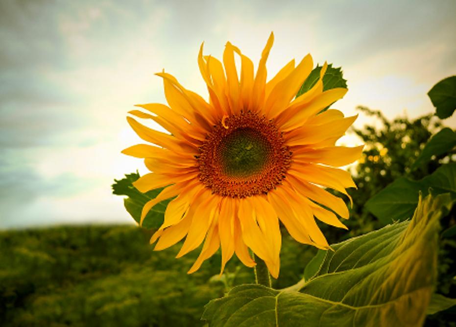 sunfloweer50.png