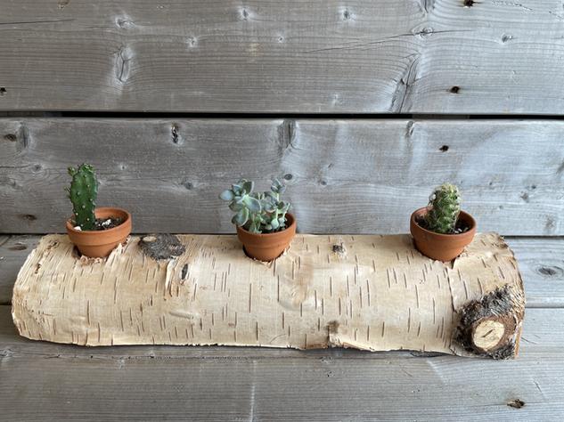 Trio de cactus sur bûche 25$