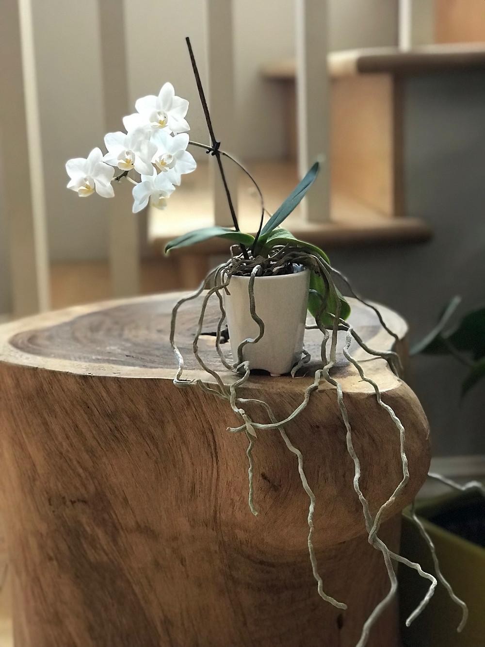 Entretien de l'orchidée phalaenopsis