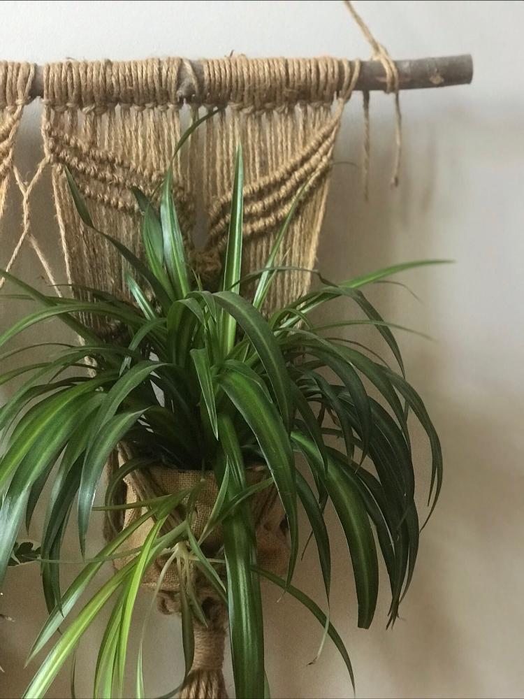Chlorophytum | Fleuriste laval | Fleurs2