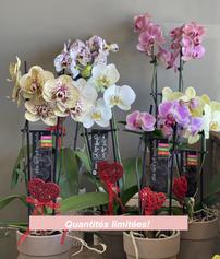 Orchidées 35$ ch.