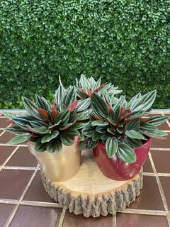 Peperomia en pot de céramique 18$ chacun