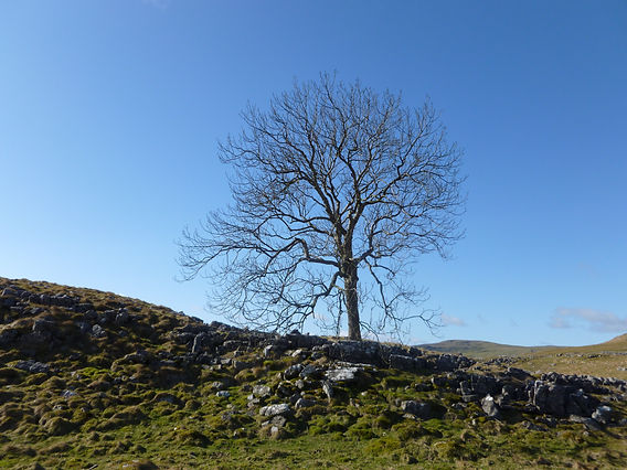 Bright blue sky. Deciduous  tree ith no leaves. Rocky hillside in foreground and distant hill top in background