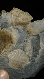 Brachiopod Death Plate
