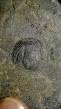 2D Orbiculodea