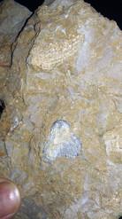 Brachiopod / Crinoid