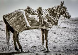 A Buzkashi horse