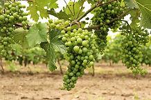 winnice-jaworek-dolnyslask-02-0817.jpg