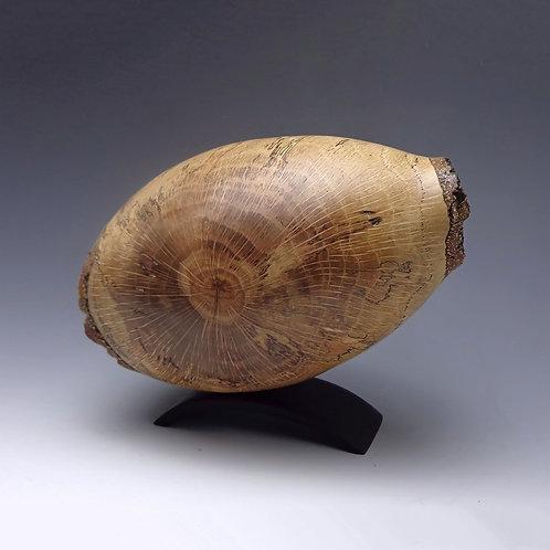 Chinkapin Oak Pod