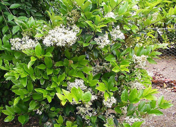 Ligustrum japonicum Texacum