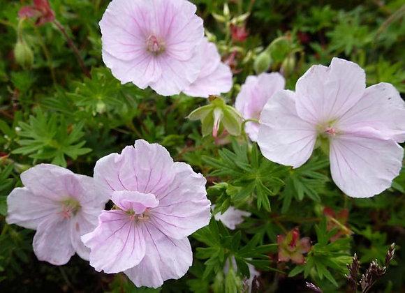 Geranium sanguineumVision rose clair