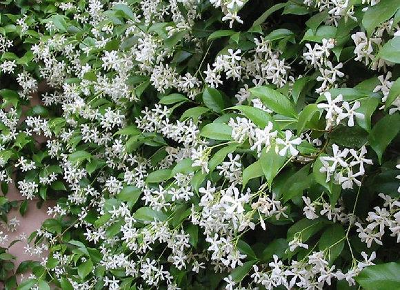 Tracheospermum jasmino�des