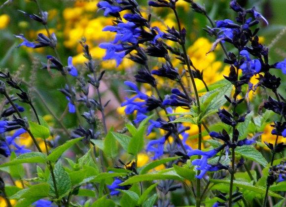 Sauge guaranitica black bloom