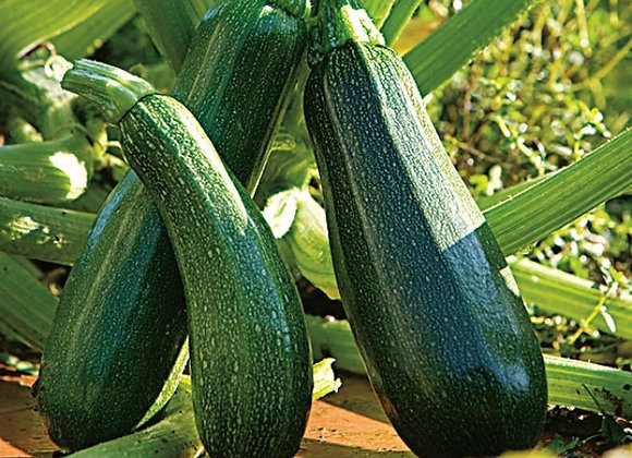 Courgette longue verte Kimber Greffée