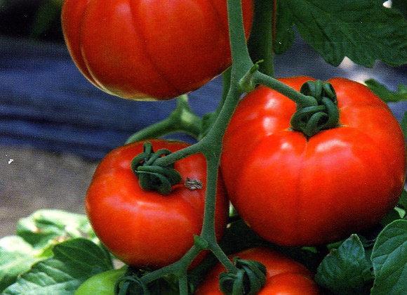 Tomate Garance