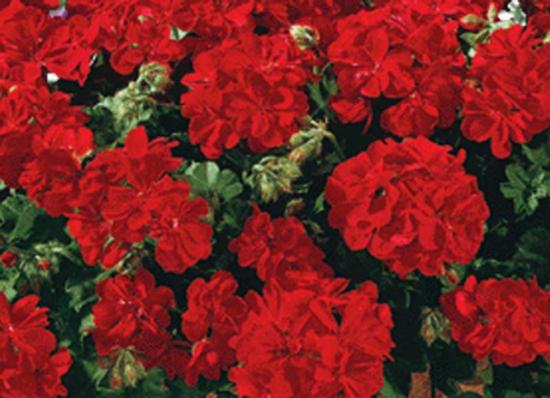 Géranium Lierre à fleurs doubles