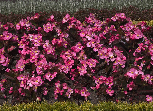 Begonia feuilles bronzees