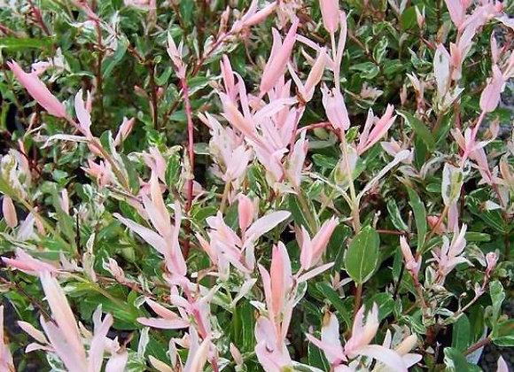 Salix integgra Hakuro nishiki- Saule crevette