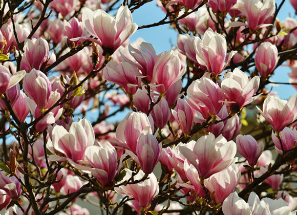 Magnolia caduc
