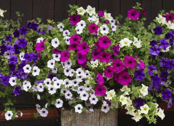 Petunia retombant a petites fleurs