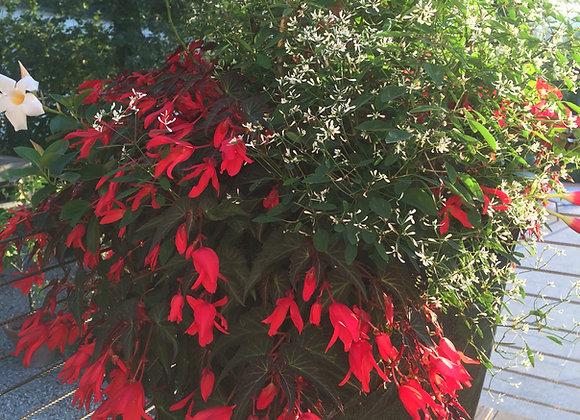 Begonia de Bolivie