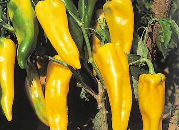 Corne de taureau jaune Ringo