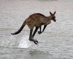 A Kangaroo!