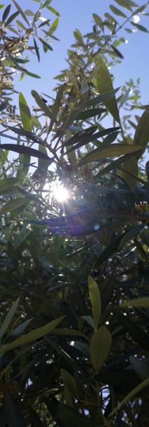 À sombra da oliveira