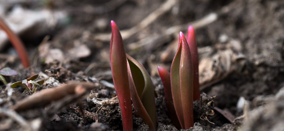 Closeup of small spring tulip growths  e