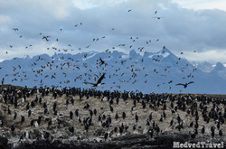 cormoranes imperiales-2